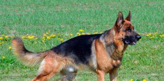 perro-pastor-alemán-de-muestra