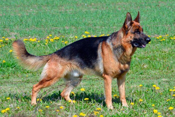 Spectacles de chien de berger allemand