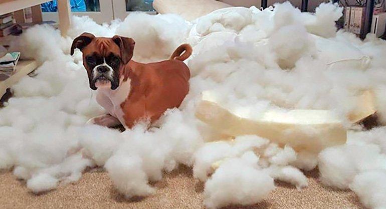 perro-que-ha-destrozado-su-cama