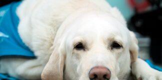 perro-tras-sufrir-un-shock
