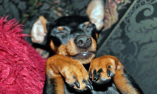 pinscher durmiendo
