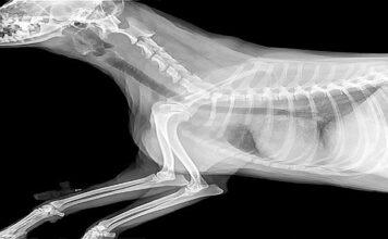 radiografia de perro