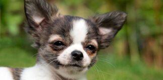 Chihuahua-en-el-jardín