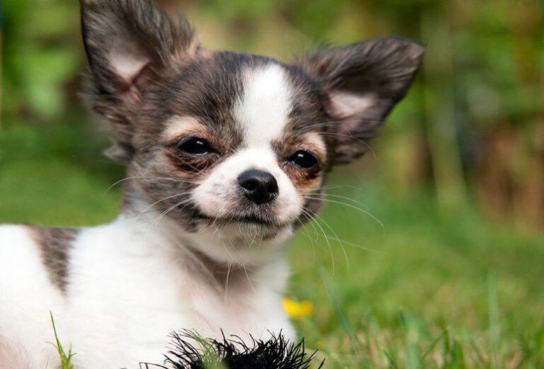 Cómo cuidar a un Chihuahua – Alimentación, ropa, mantenimiento