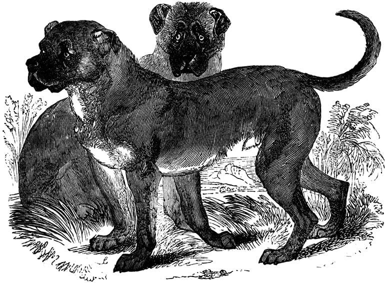 Dogo-cubano