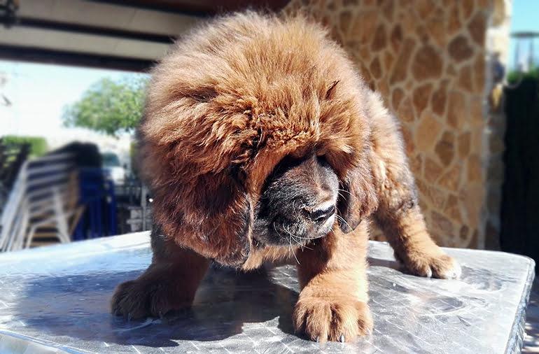 Cachorro de Mastín Tibetano