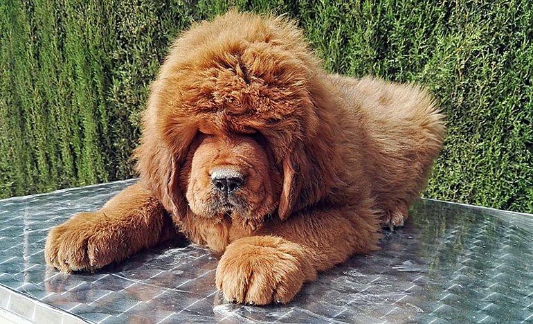 Perro-mastín-tibetano-tumbado