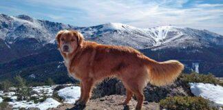 Retriever-de-nueva-escocia-paseando-por-la-montaña