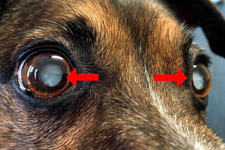 """cristal-blanchiment-par-cataracte-dans-un-chien """"width ="""" 770 """"height ="""" 513 """"srcset ="""" https://soyunperro.com/wp-content/uploads/2019/11/blanqueamiento-del -cristalino-por-cataratas-en-un-perro.jpg 770w, https://soyunperro.com/wp-content/uploads/2019/11/blanqueamiento-del-cristalino-por-cataratas-en-un-perro- 300x200.jpg 300w, https://soyunperro.com/wp-content/uploads/2019/11/blanqueamiento-del-cristalino-por-cataratas-en-un-perro-768x512.jpg 768w, https: // soyunperro. com / wp-content / uploads / 2019/11 / blanchiment-de-cristal-par-cataractes-in-a-dog-696x464.jpg 696w, https://soyunperro.com/wp-content/uploads/2019/11 /blanqueamiento-del-cristalino-por-cataratas-en-un-perro-630x420.jpg 630w """"tailles ="""" (largeur maximale: 770px) 100vw, 770px"""