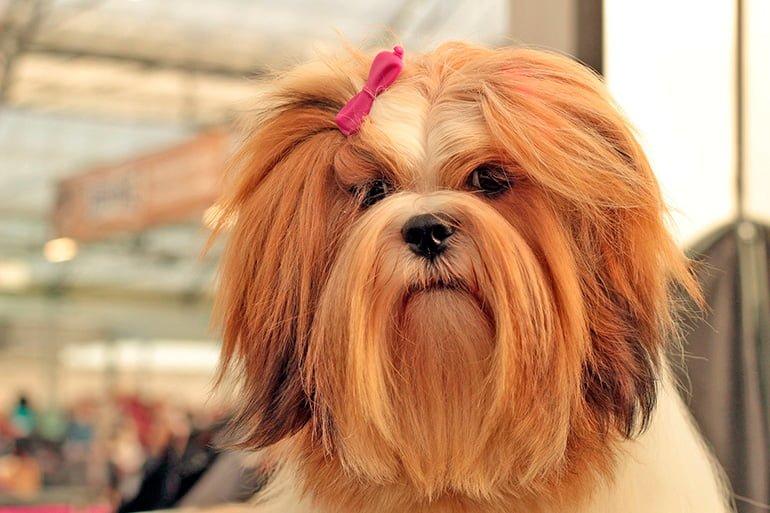 lhasa-apso-peinado-para-un-campeonato-de-belleza