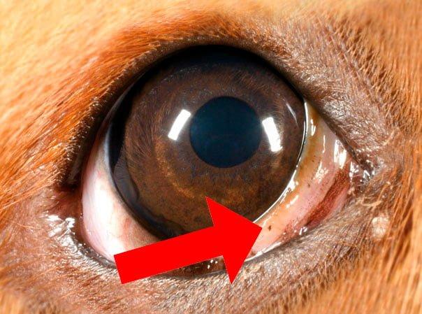 ojo-de-perro-mostrando-el-tercer-párpado