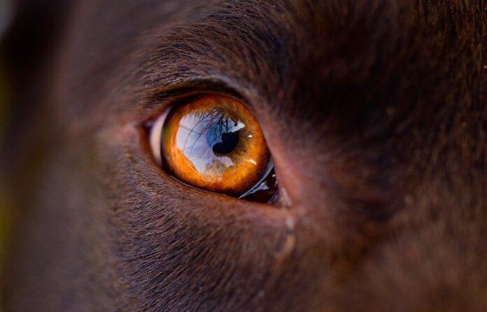 ojo-de-un-perro