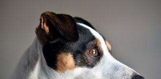 ojo-de-un-perro-de-raza-pequeña