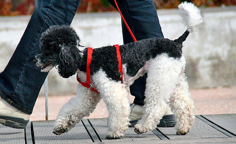 perro-adulto-paseando-con-su-humano