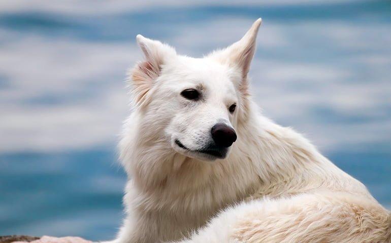 perro-blanco-con-el-pelo-limpio