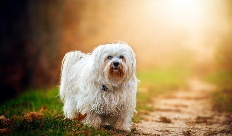 perro-blanco-de-raza-bichón-maltés