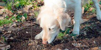 perro-comiendo-tierra
