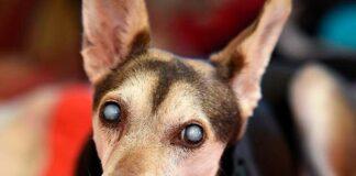 perro-con-cataratas-en-ambos-ojos
