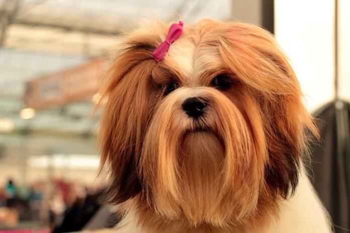 chien aux cheveux longs et aux soins