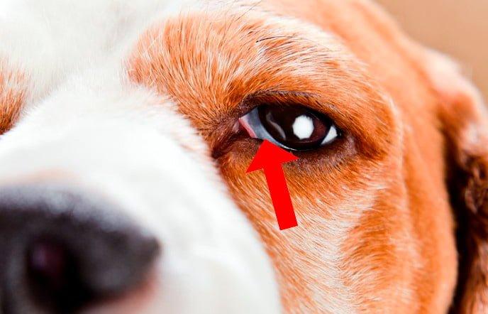 perro-con-protrusión-del-tercer-párpado