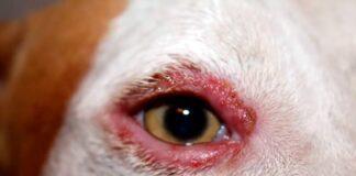 perro-con-señales-de-despigmentación-en-el-rostro