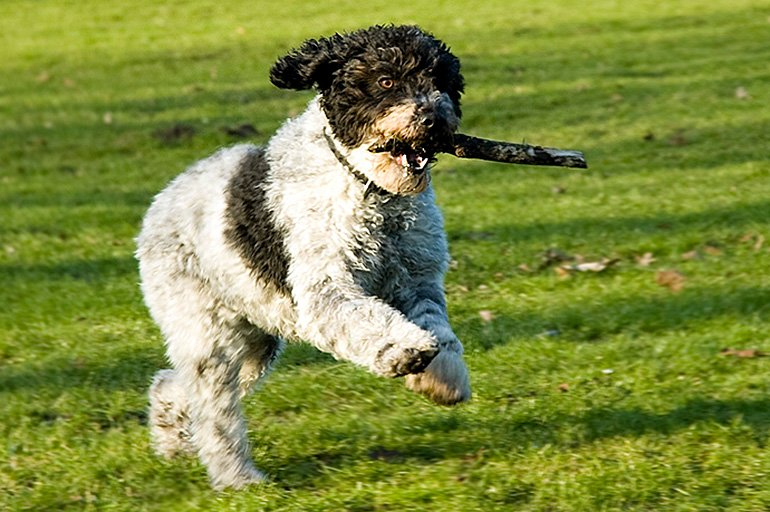 perro-de-agua-español