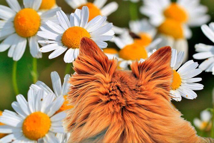perro-en-un-cultivo-de-manzanilla