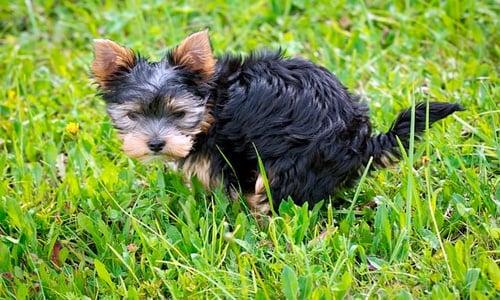 perrito haciendo popo
