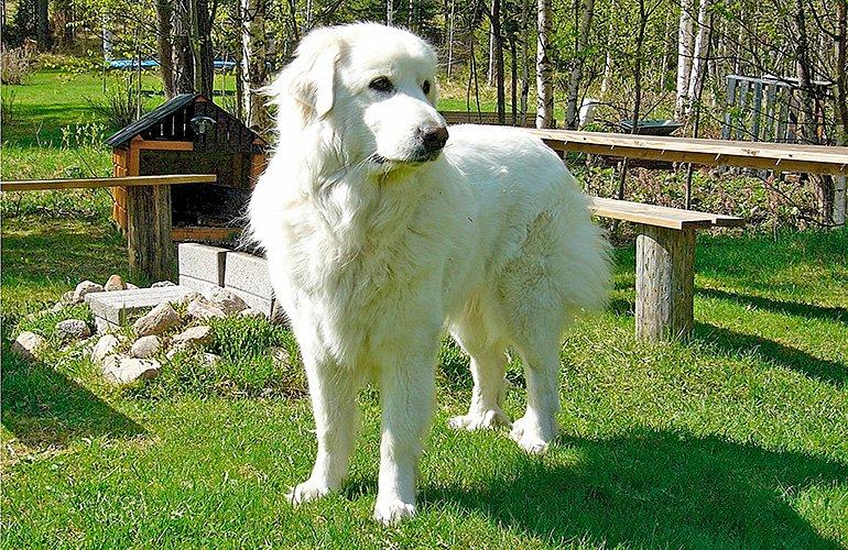 perro-montaña-de-pirineos-en-un-merendero
