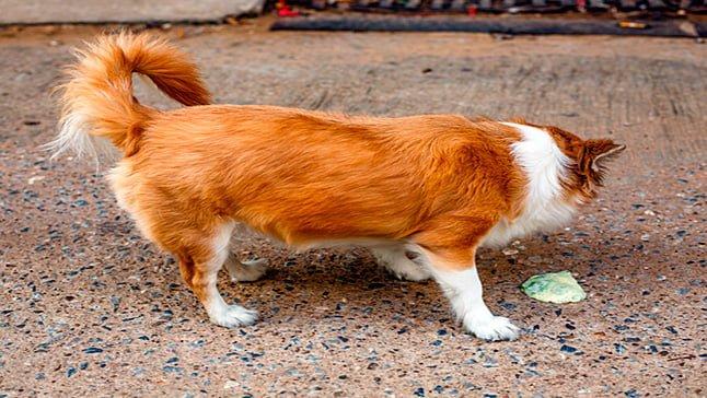 perro vomitando amarillo