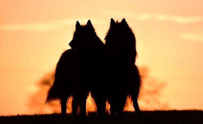 races de chien éteintes