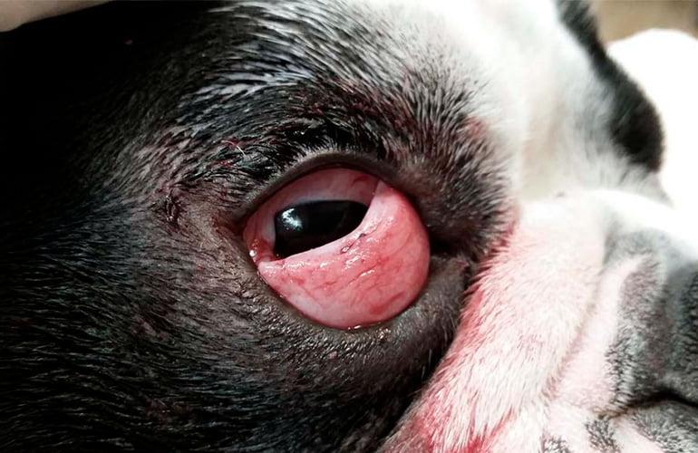 """syndrome-de-cerise-chez-un-chien """"width ="""" 770 """"height ="""" 500 """"srcset ="""" https://soyunperro.com/wp-content/uploads/2019/11/11syndrome-del -ojo-de-cherry-en-un-perro.jpg 770w, https://soyunperro.com/wp-content/uploads/2019/11/síndrome-del-ojo-de-cereza-en-un-perro- 300x195.jpg 300w, https://soyunperro.com/wp-content/uploads/2019/11/síndrome-del-ojo-de-cereza-en-un-perro-768x499.jpg 768w, https: // soyunperro. com / wp-content / uploads / 2019/11 / cherry-eye-syndrome-in-a-dog-696x452.jpg 696w, https://soyunperro.com/wp-content/uploads/2019/11 /syndrome-del-ojo-de-cereza-en-un-perro-647x420.jpg 647w """"tailles ="""" (largeur max: 770px) 100vw, 770px"""