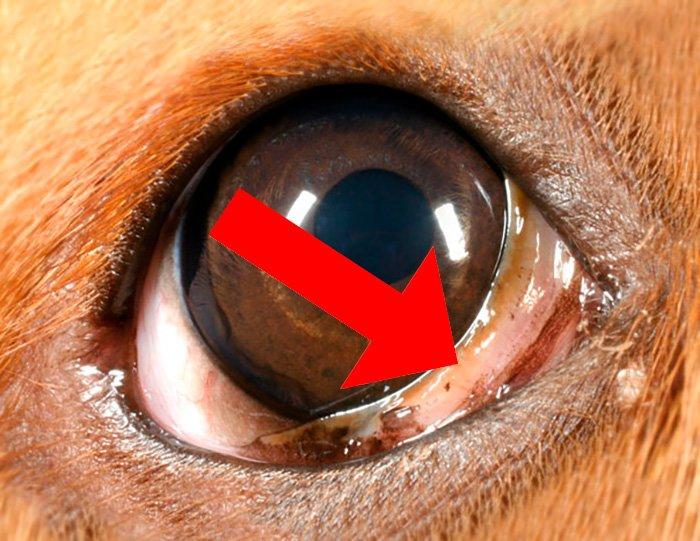 """troisième-paupière chez un chien """"width ="""" 700 """"height ="""" 541 """"srcset ="""" https://soyunperro.com/wp-content/uploads/2019/11/tercer-ppadopado-en-un-perro .jpg 700w, https://soyunperro.com/wp-content/uploads/2019/11/tercer-párpado-en-un-perro-300x232.jpg 300w, https://soyunperro.com/wp-content/uploads /2019/11/tercer-párpado-en-un-perro-696x538.jpg 696w, https://soyunperro.com/wp-content/uploads/2019/11/tercer-párpado-en-un-perro-543x420. jpg 543w """"tailles ="""" (largeur max: 700px) 100vw, 700px"""