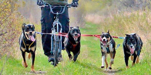 Bikejoring con varios perros