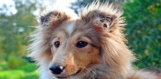 perro de raza Pastor de las Shetland
