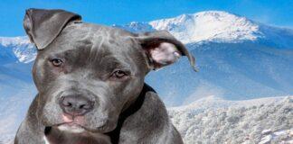 Pitbull blue en la montaña