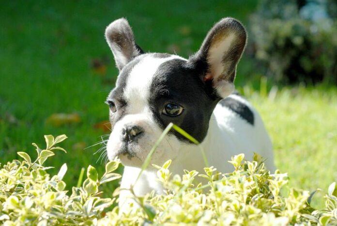 cachorro-de-bulldog
