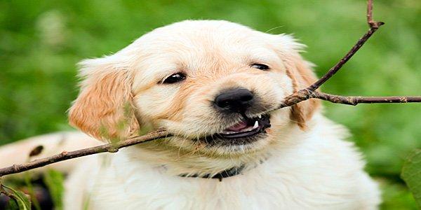 cachorro de retriever mordisqueando una rama