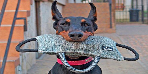 perro dóberman durante ejercicio de entrenamiento