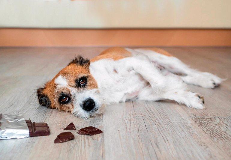 """chien mangeur de chocolat """"width ="""" 770 """"height ="""" 534 """"srcset ="""" https://soyunperro.com/wp-content/uploads/2019/12/perro-comiendo-chocolate.jpg 770w, https: // soyunperro.com/wp-content/uploads/2019/12/perro-comiendo-chocolate-300x208.jpg 300w, https://soyunperro.com/wp-content/uploads/2019/12/perro-comiendo-chocolate-768x533 .jpg 768w, https://soyunperro.com/wp-content/uploads/2019/12/perro-comiendo-chocolate-218x150.jpg 218w, https://soyunperro.com/wp-content/uploads/2019/12 /perro-comiendo-chocolate-696x483.jpg 696w, https://soyunperro.com/wp-content/uploads/2019/12/perro-comiendo-chocolate-606x420.jpg 606w, https://soyunperro.com/wp -contenu / uploads / 2019/12 / dog-eating-chocolate-100x70.jpg 100w """"tailles ="""" (largeur max: 770px) 100vw, 770px"""
