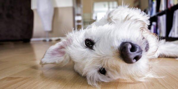 perro solo en casa espera tumbado a su dueño
