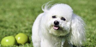 perro-rodeado-de-manzanas-verdes