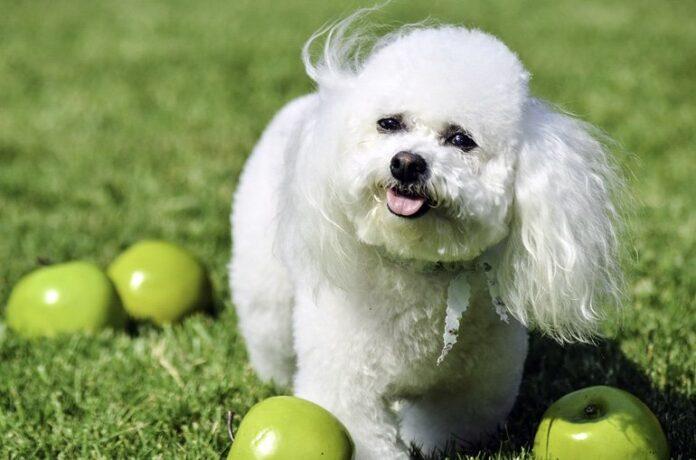 chien-entouré-de-pommes-vertes