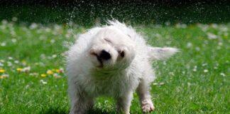 perro pequeño sacudiendose