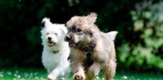 perros-corriendo-sobre-la-hierba
