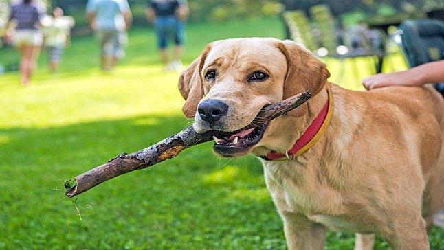 Retriever jugando con un palo