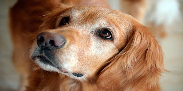 perro retriever anciano con canas