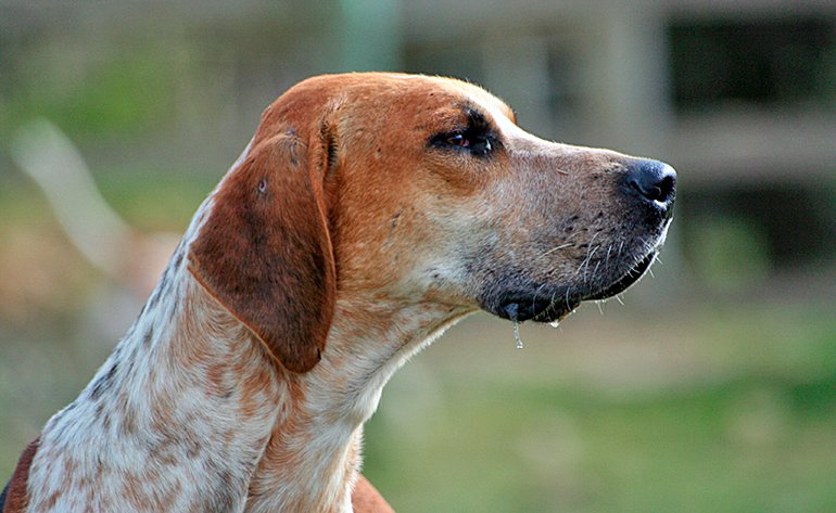 Foxhound-Inglés