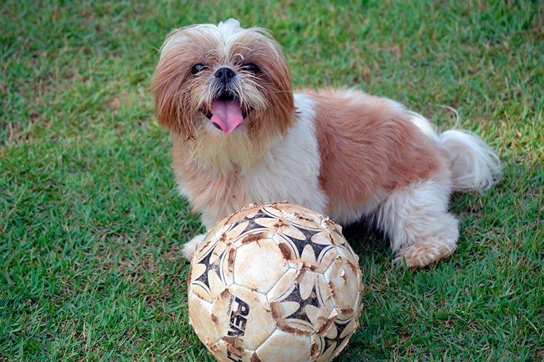Shih-Tzu-jugando-con-un-balón