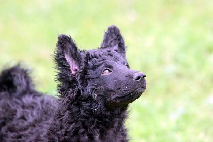 cachorro-de-pastor-croata